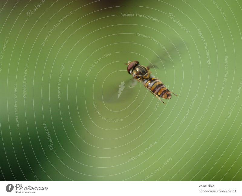 fliegende gemeine schwebfliege Blume grün Sommer Fliege fliegen Verkehr Biene Schweben Hummel Staubfäden Bremse Nektar Schwebfliege