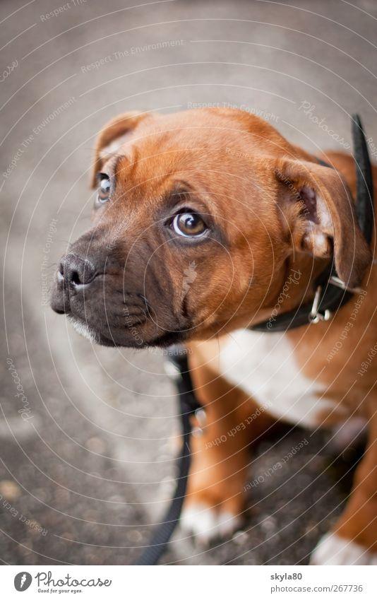 Unschuldslamm Hund Welpe schön unterwürfig Blick nach oben Hundehalsband Hundeleine Staffordshire Terrier klein unschuldig Hundeblick braun Treue Tier Haustier