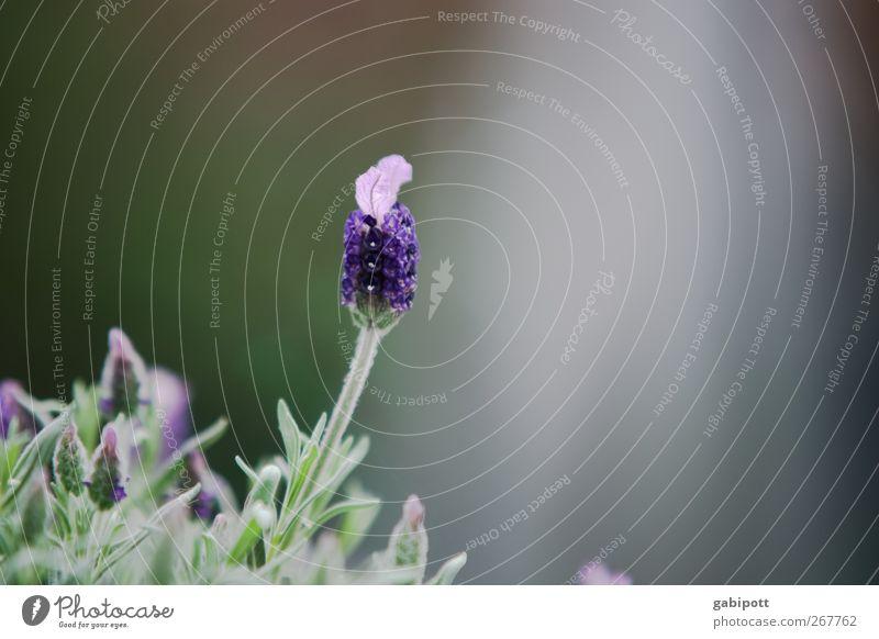 Lavendel groß im kommen Natur grün Pflanze Blume Blatt Farbe Erholung Blüte Zufriedenheit wild natürlich Beginn ästhetisch Wachstum Sträucher violett