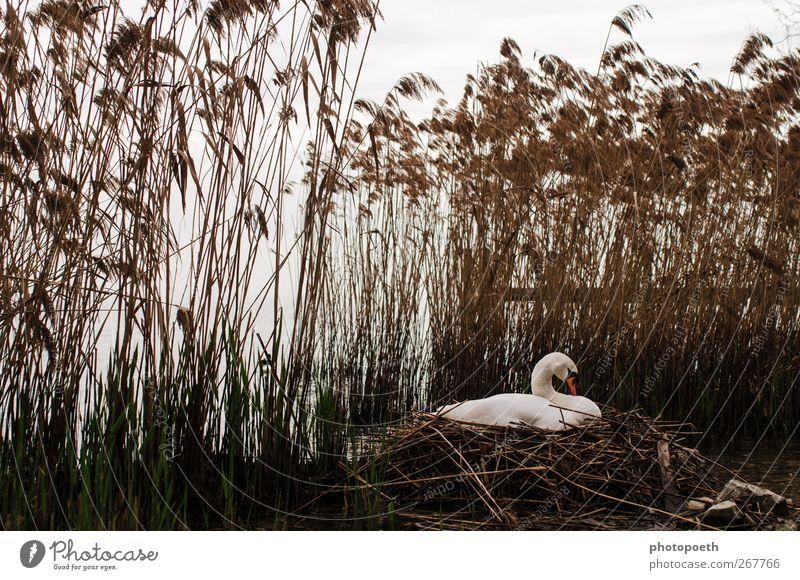Schwanen-Garda-See Natur Tier Stimmung Wildtier Seeufer Schilfrohr Schwan Nest Brutpflege brütend Nestwärme