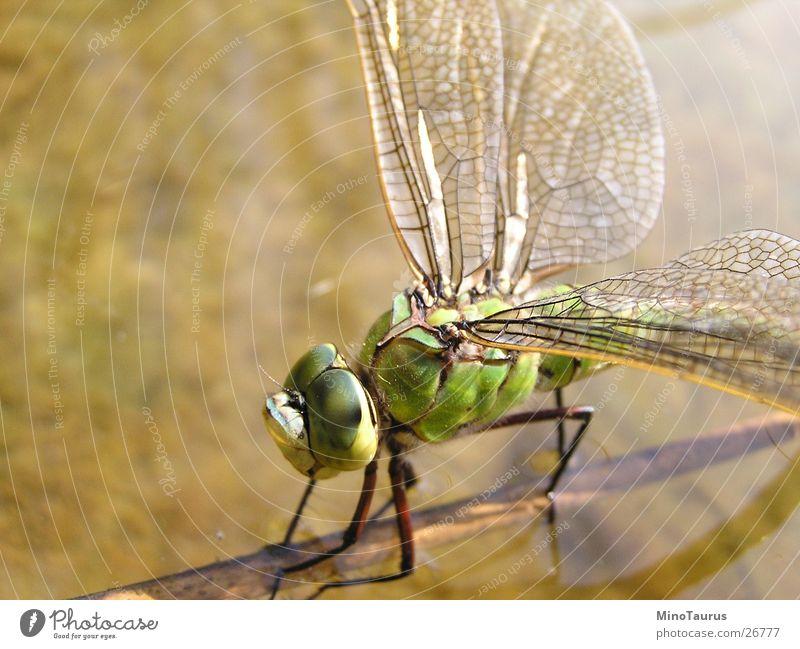 Libelle - Makroaufnahme #2 Insekt schimmern faszinierend grün See Teich Unschärfe Wasser Flügel exotisch Fliege Brennpunkt Nahaufnahme mino Detailaufnahme