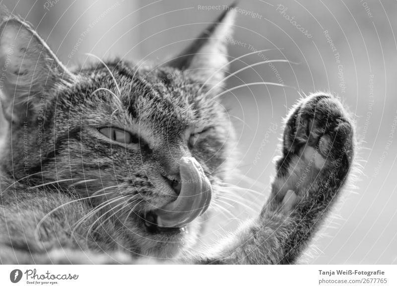 Katze putzt Nase Tier Haustier 1 außergewöhnlich lustig niedlich Zufriedenheit Geborgenheit Tierliebe Lebensfreude Leichtigkeit Freude Schwarzweißfoto
