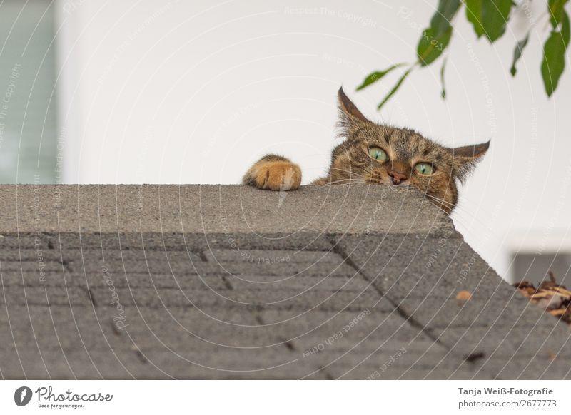 Ein bisschen verrückt Tier Haustier Katze 1 frech Überraschung Freude skurril Farbfoto Außenaufnahme Textfreiraum links Textfreiraum oben Tag Tierporträt