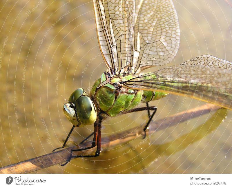 Libelle - Makroaufnahme Insekt schimmern faszinierend grün See Teich Unschärfe Wasser Flügel exotisch Fliege Brennpunkt Nahaufnahme mino Detailaufnahme facetten