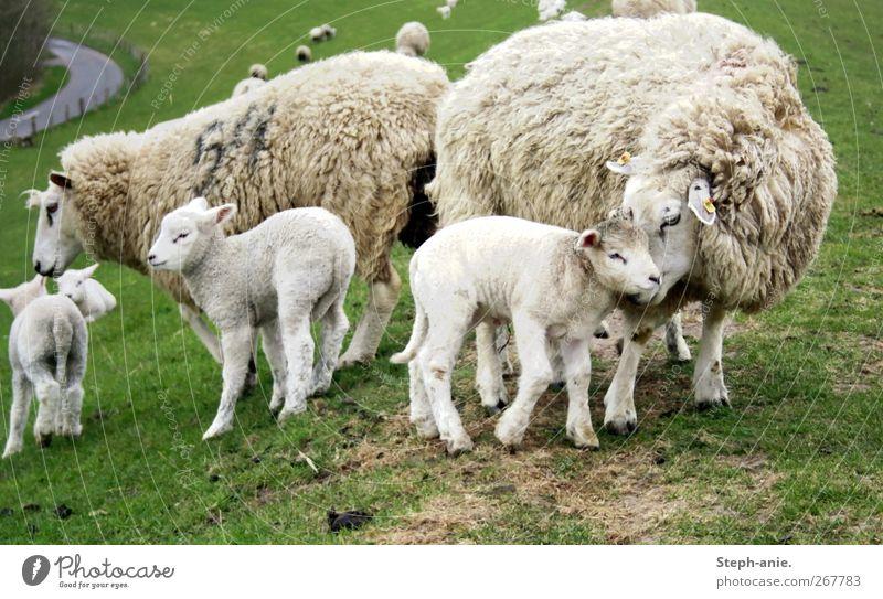 Schafmama Nutztier Schafherde Herde Tierjunges Tierfamilie authentisch Freundlichkeit Zusammensein Glück niedlich Vertrauen Sicherheit Geborgenheit Einigkeit