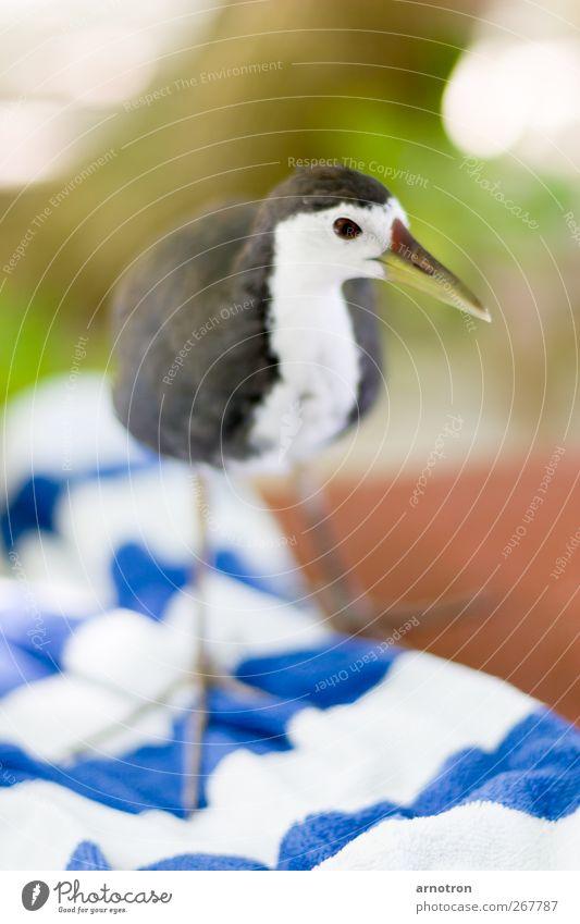Kleiner frecher Strandläufer blau grün Ferien & Urlaub & Reisen Tier ruhig Erholung Vogel braun Wildtier außergewöhnlich Insel niedlich Neugier Wachsamkeit exotisch Handtuch