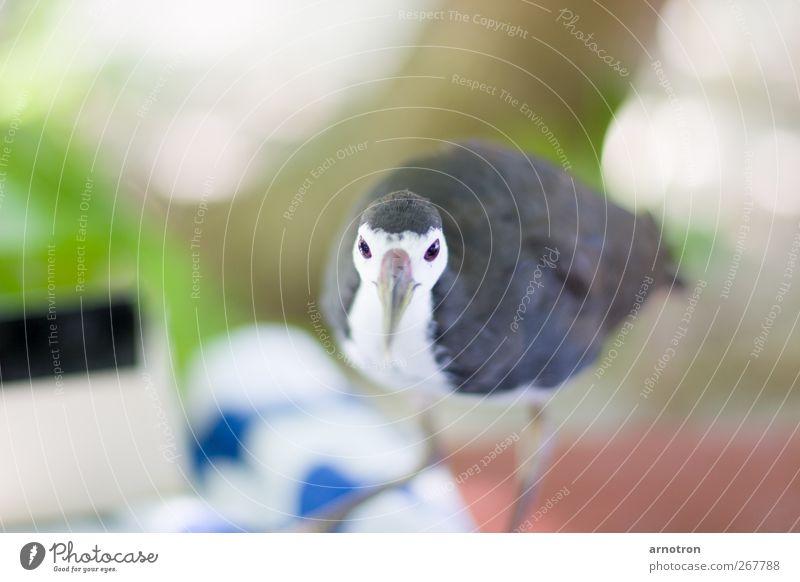 Kleiner frecher Strandläufer blau grün Ferien & Urlaub & Reisen Tier ruhig Erholung grau Vogel Wildtier außergewöhnlich Insel niedlich beobachten Neugier