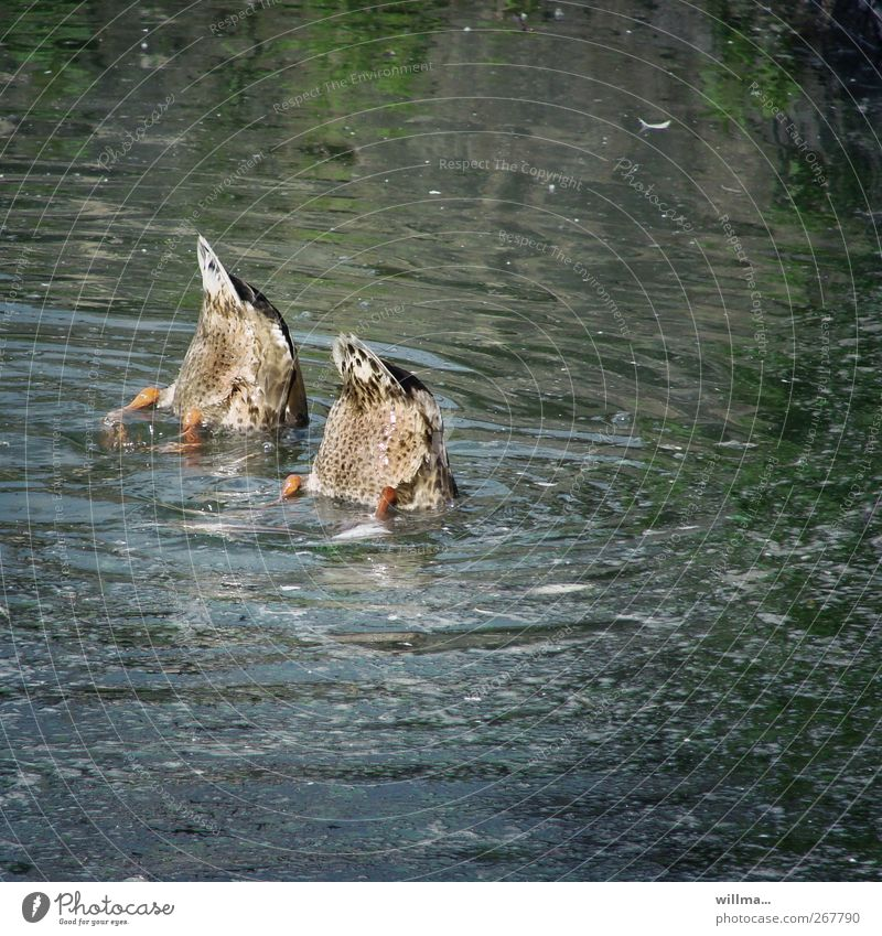 Schwänzchen in die Höh Wasser Teich Schwanz Ente 2 Tier tauchen Angst entdecken Neugier Teamwork Synchronschwimmen synchron kopflos Nahrungssuche Kopfstand nass