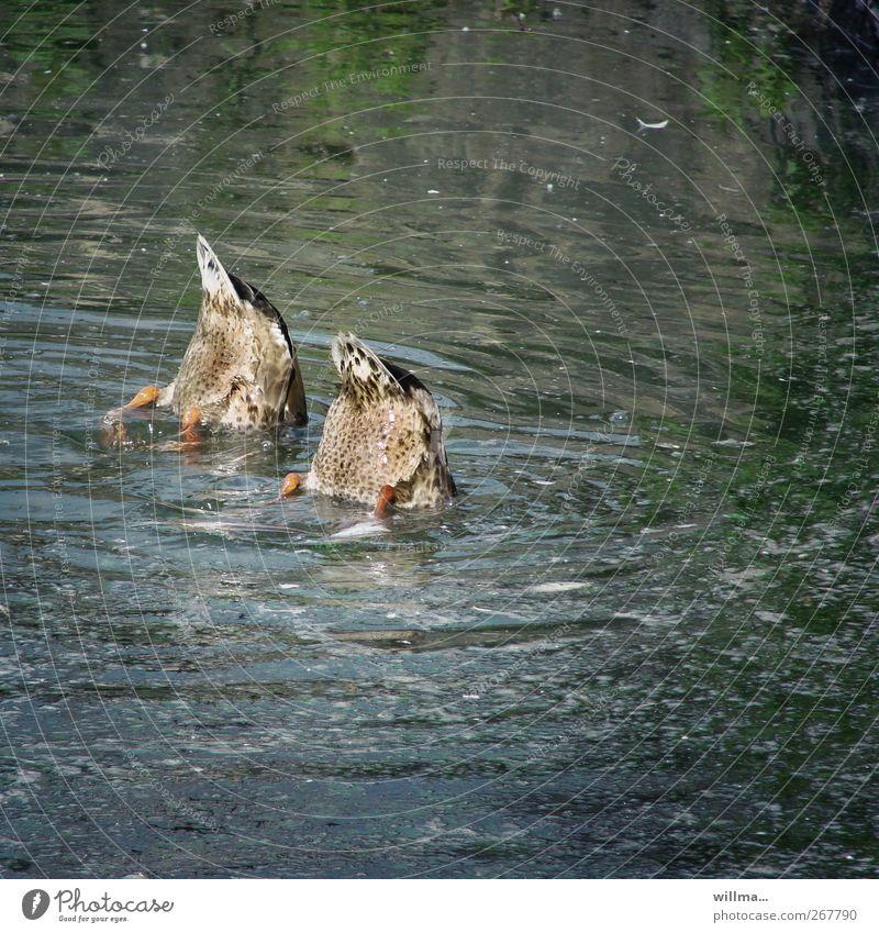synchronpupsen Wasser Tier lustig Schwimmen & Baden Angst Tierpaar nass Neugier Hinterteil tauchen entdecken Erfrischung verstecken Im Wasser treiben Teamwork
