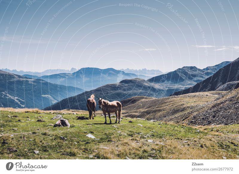 Pferde in den südtiroler Alpen wandern Klettern Bergsteigen Natur Landschaft Sommer Schönes Wetter Berge u. Gebirge 2 Tier stehen ästhetisch elegant nachhaltig