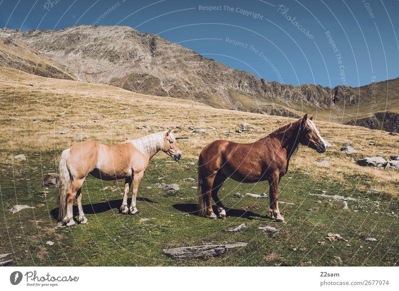 Pferde auf dem Südtiroler Hirzer | E5 Alpenüberquerung wandern Klettern Bergsteigen Natur Landschaft Sommer Schönes Wetter Wiese Berge u. Gebirge Gipfel 2 Tier