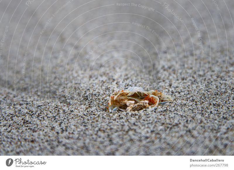 CA l vergänglich Umwelt Natur Tier Urelemente Sand Wind Küste Strand Meer Totes Tier außergewöhnlich Unendlichkeit kalt trist Traurigkeit Tod Einsamkeit