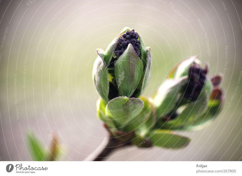Frühlingserwachen Pflanze Blume Blatt Frühling Garten Blüte natürlich ästhetisch Schönes Wetter Grünpflanze