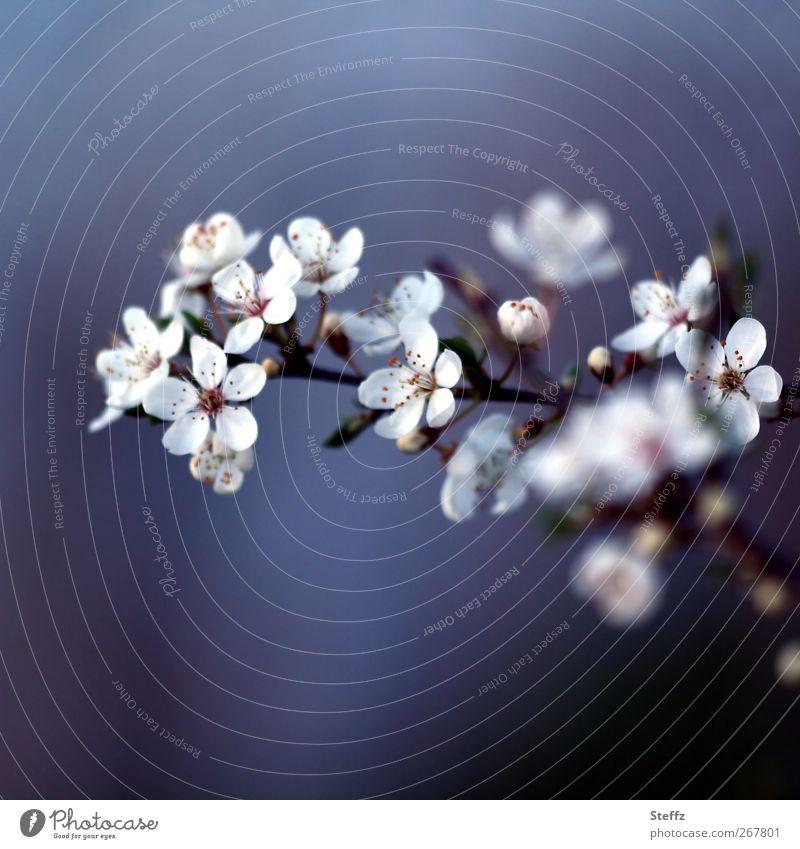 Blütezeit Umwelt Natur Pflanze Frühling Kirschblüten Blütenblatt Blütenknospen Zweig Jungpflanze Blühend natürlich schön Romantik Frühlingsgefühle
