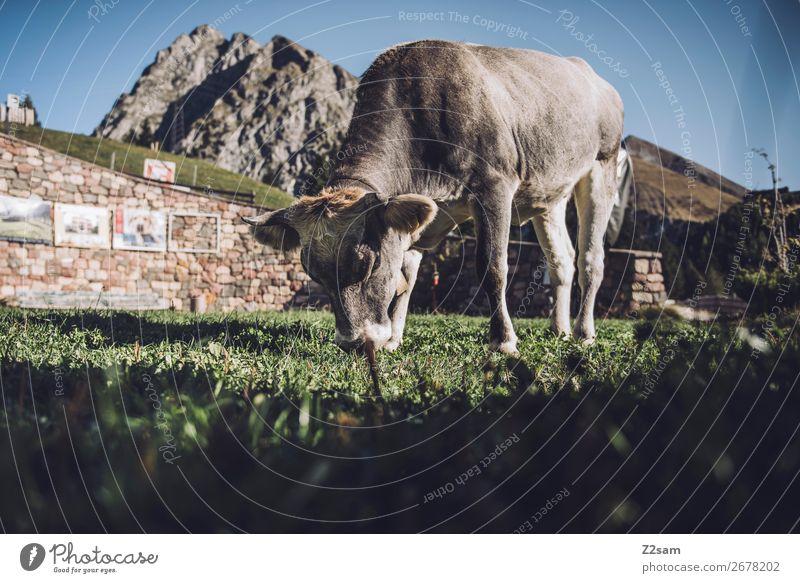 Südtiroler Kuh Ferien & Urlaub & Reisen Berge u. Gebirge wandern Umwelt Natur Landschaft Wolkenloser Himmel Sommer Schönes Wetter Felsen Alpen Nutztier Fressen