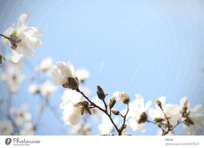 Magnolia... Natur Pflanze blau Sommer weiß ruhig Blüte Frühling Lifestyle rosa Geburtstag Schönes Wetter Hochzeit Wohlgefühl harmonisch Blütenknospen