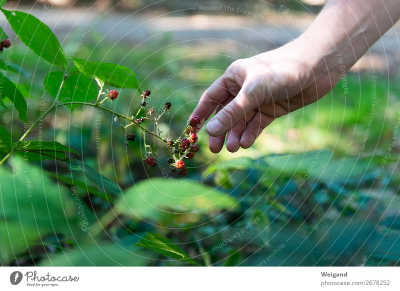 Waldhimbeeren Lebensmittel Ernährung Bioprodukte Vegetarische Ernährung Slowfood Fingerfood Duft Hand Pflanze dankbar Frucht pflücken Ernte Glück Himbeeren