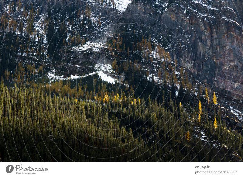 Herbst in den Rocky Mountains Berge Gebirge Felsen Felswand Bäume Nadelbäume Wald Steil Banff Banff National Park Kanada Alberta Natur Landschaft Schnee