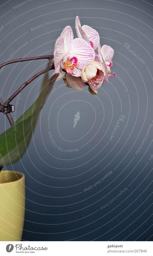 die genügsame Schöne Umwelt Natur Pflanze Orchidee Blatt Blüte Topfpflanze exotisch Blühend Wachstum Duft schön positiv blau grün rosa Lebensfreude