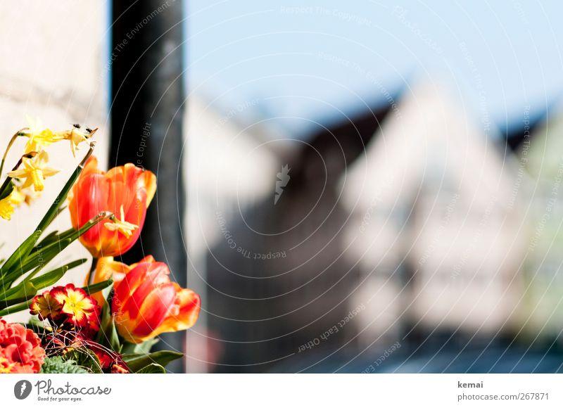 Tulpen und Bienen Stadt Pflanze rot Blume Blatt Haus gelb Wand Frühling Mauer Blüte hell sitzen Dekoration & Verzierung Tiergruppe Schönes Wetter