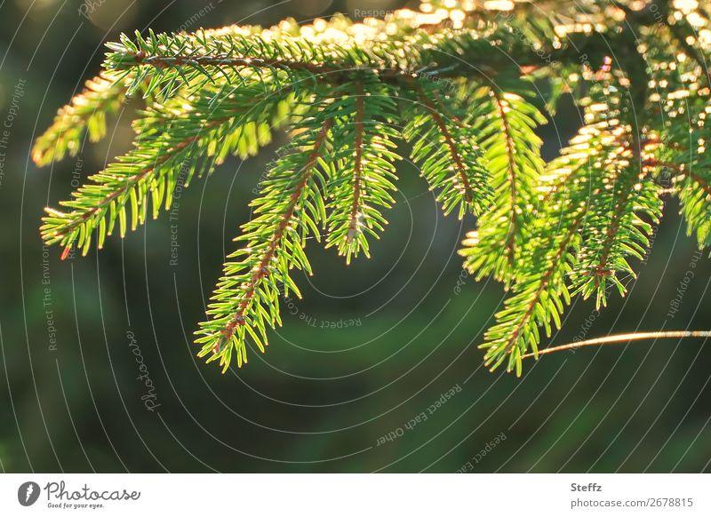 Tannenzweig mit Lichtband Umwelt Natur Pflanze Herbst Schönes Wetter Wildpflanze Tannennadel Nadelbaum Wald glänzend schön gelb grün Lichtstimmung Waldstimmung