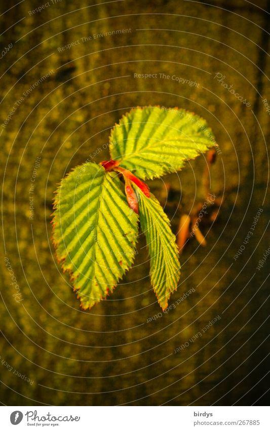 jung und zart Natur grün Baum Blatt Leben Wärme Frühling braun natürlich frisch ästhetisch Wachstum leuchten Wandel & Veränderung Blattknospe