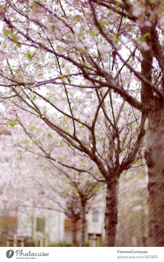 Es duftet nach Frühling. Umwelt Natur Landschaft Pflanze Sommer Klima Wetter Schönes Wetter Baum Garten Park Wiese Erholung Magnolienbaum Magnolienblüte