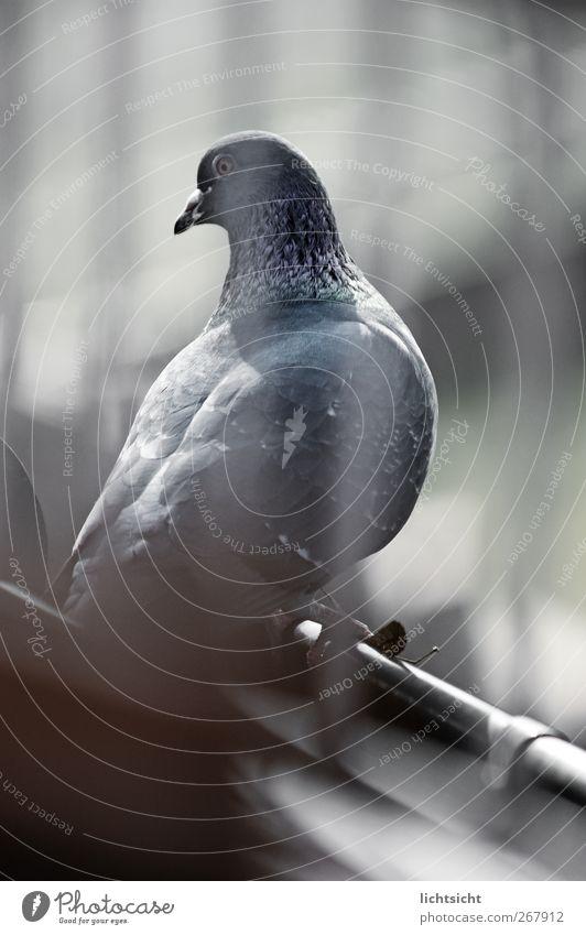 taubenblau Dach Dachrinne Tier Vogel Taube 1 Gitter Auge Schnabel Abheben Feder Streifen Blick blaustich Farbfoto Gedeckte Farben Außenaufnahme Experiment Tag