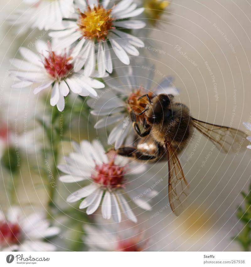 Blütenmahlzeit Biene Astern Honigbiene Herbstblumen Insekt Fressen nah fleißig bestäuben weiße Blumen nützlich Herbstbeginn Nahrungssuche herbstlich