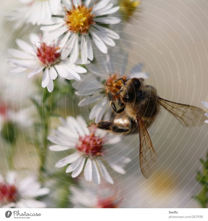 Blütenmahlzeit Umwelt Natur Herbst Blume Astern Blütenstauden Tier Biene Insekt Lebewesen Flügel Fühler 1 Blühend Fressen krabbeln nah weiß Honigbiene fleißig