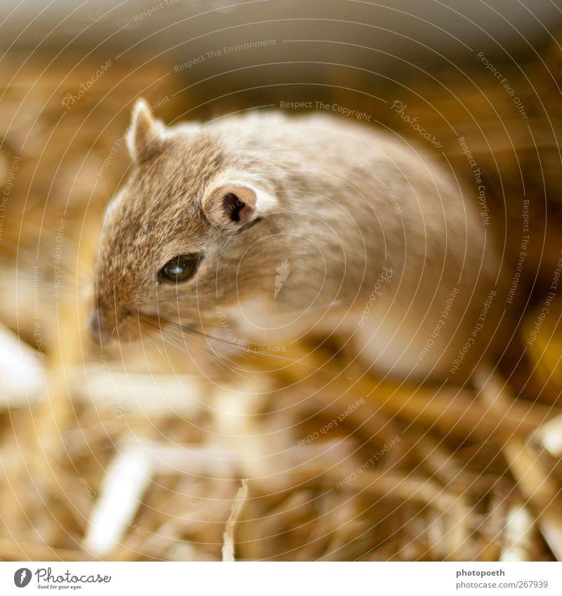 Mina Maus schön 1 Mensch Fell Haustier außergewöhnlich Freundlichkeit niedlich braun Mongolische Rennmaus interessant Fellfarbe Barthaare Wüstenrennmaus