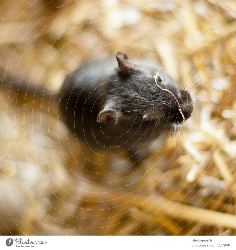 Bella Maus schön 1 Mensch Fell Haustier außergewöhnlich Freundlichkeit niedlich schwarz Mongolische Rennmaus interessant Fellfarbe Barthaare Auge Ohr