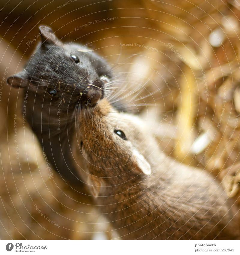 Geschwisterliebe Tier Fell Haustier Maus Tiergesicht 2 Tierpaar krabbeln Küssen außergewöhnlich Freundlichkeit niedlich braun schwarz Sympathie Tierliebe