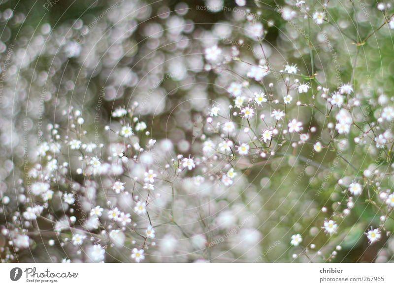 Blümchengesprenkel Natur weiß grün Pflanze Blume grau klein Garten glänzend Wachstum viele nah Blühend Duft Schleierkraut
