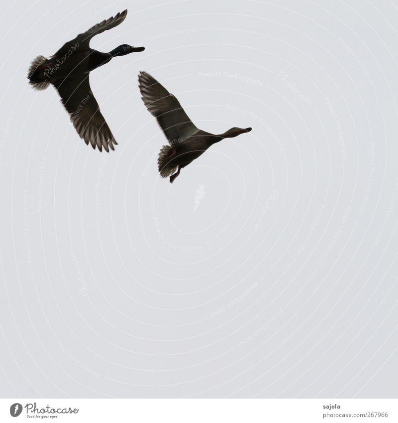 paarflug Tier Wildtier Vogel Ente Stockente 2 Tierpaar fliegen Frühlingsgefühle Freiheit Dynamik Brunft Farbfoto Gedeckte Farben Außenaufnahme Menschenleer