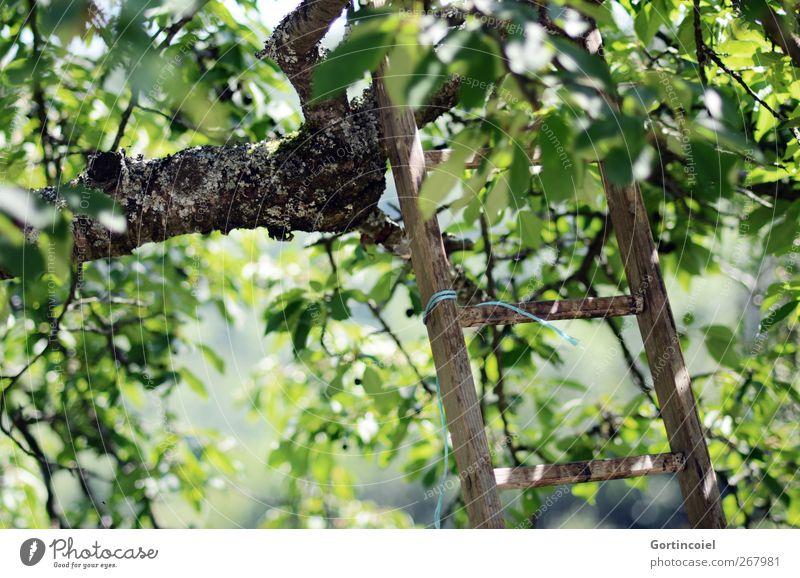 Pflücken Natur Sommer Pflanze Baum Blatt Garten grün Kirschbaum Leiter Leitersprosse pflücken Landleben Ernte Farbfoto Außenaufnahme Menschenleer Tag Licht