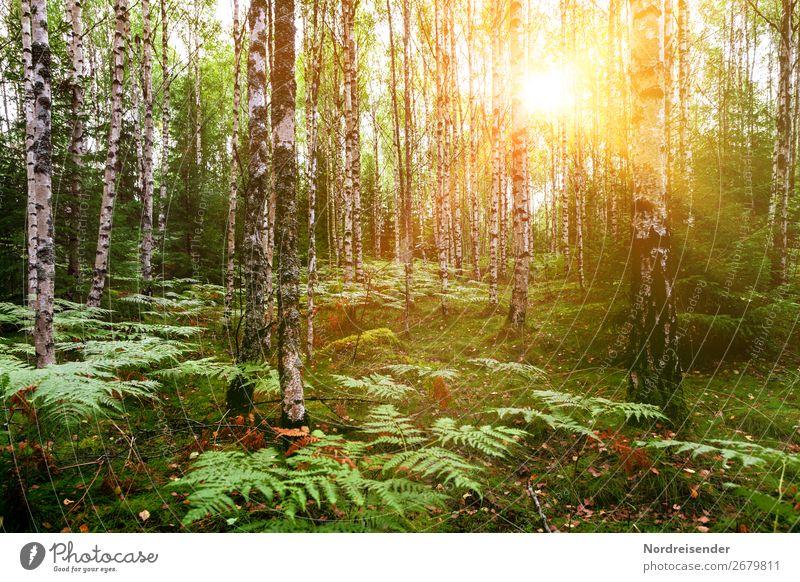 Birkenwald im Frühling Ausflug Sommer wandern Natur Landschaft Pflanze Schönes Wetter Baum Gras Sträucher Moos Park Wald natürlich Idylle Stimmung Farn
