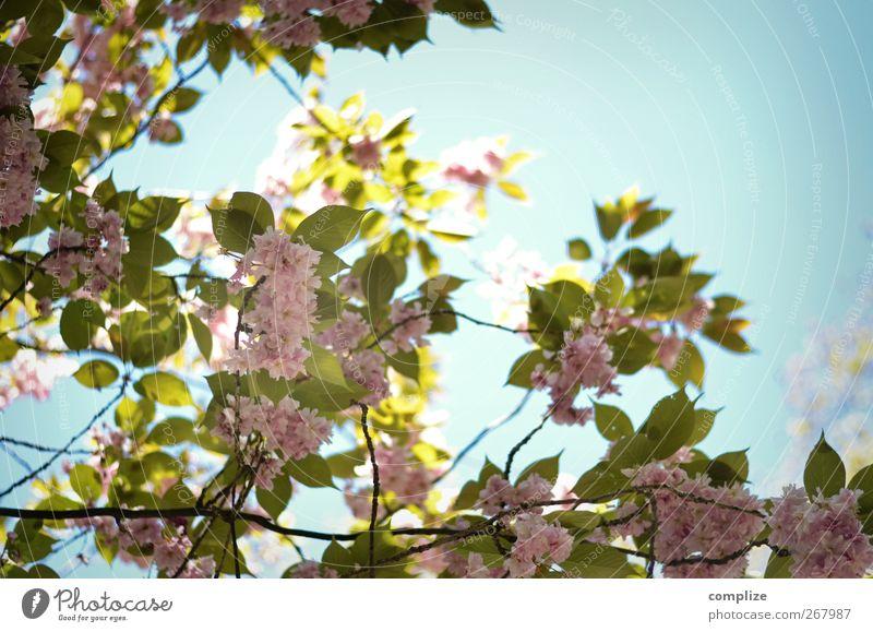 Baum mit Blüten Wellness Spa Pflanze Blume Blatt Grünpflanze blau grün rosa Idylle Frühling Blütenblatt Ast Zweige u. Äste Kirschblüten Obstbaum exotisch Asien