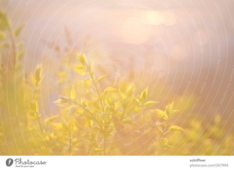 Sonnenrausch Natur Pflanze Sonnenaufgang Sonnenuntergang Sonnenlicht Frühling Sträucher Blatt Grünpflanze gelb gold grün sanft leicht Unschärfe Doppelbelichtung