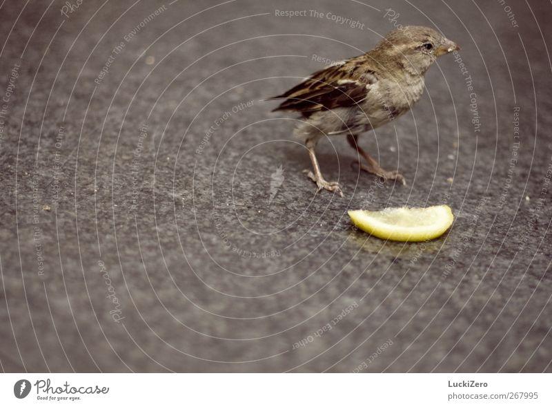 Spatz auf Grau mit a bit of yellow Natur Stadt Tier gelb Wege & Pfade feminin grau Stein braun Vogel Frucht wild trist Wildtier Ernährung Flügel