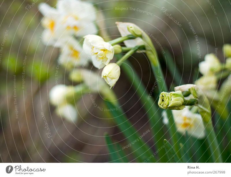 Erwachen Natur weiß grün Pflanze Umwelt gelb Frühling Garten hell Beginn Blühend Blütenknospen Vorfreude aufwachen Frühlingsgefühle Narzissen