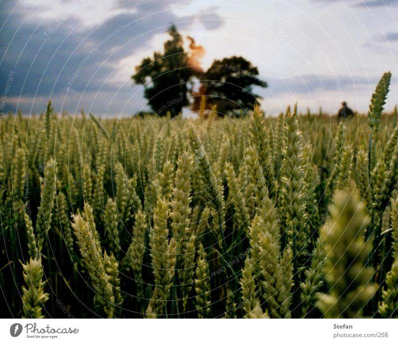Erntezeit Baum Feld Korn Landwirtschaft