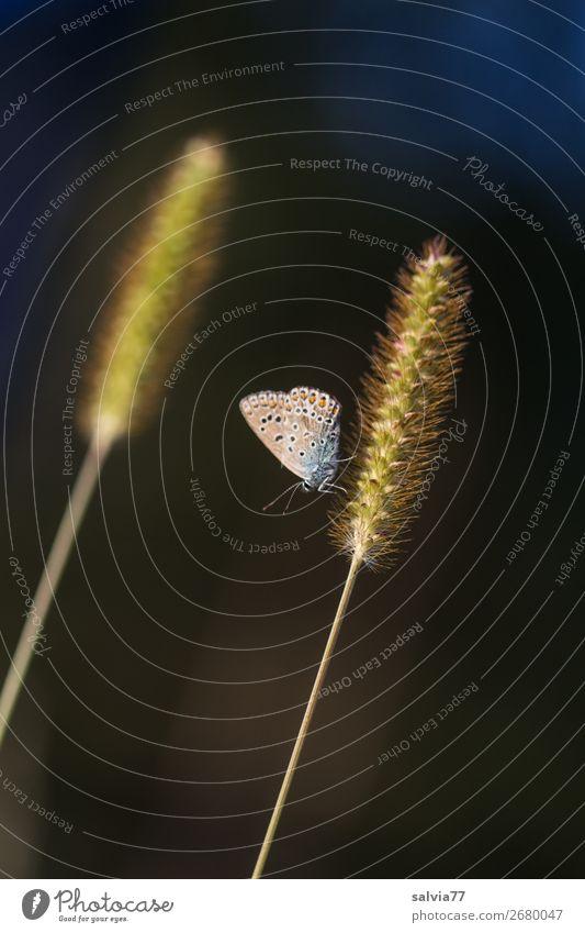 parallel Umwelt Natur Pflanze Tier Sommer Gras Blüte exotisch Borstenhirse Hirse Schmetterling Bläulinge 1 leuchten schwarz ästhetisch Pause Kontrast Farbfoto