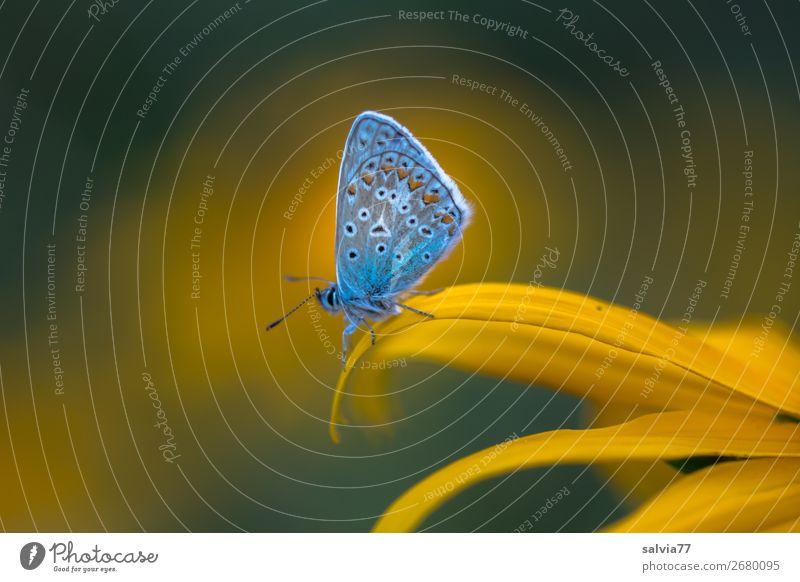 Bläuling Umwelt Natur Sommer Blume Blüte Sonnenhut Garten Tier Schmetterling Bläulinge Insekt 1 Blühend Duft Glück Idylle Leichtigkeit Pause ruhig Farbfoto