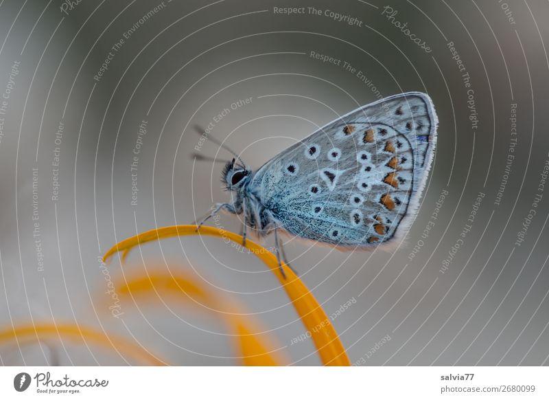 Ruheplatz Umwelt Natur Pflanze Tier Sommer Blume Blüte Garten Schmetterling Flügel Insekt Bläulinge 1 ästhetisch niedlich oben blau grau einzigartig Idylle