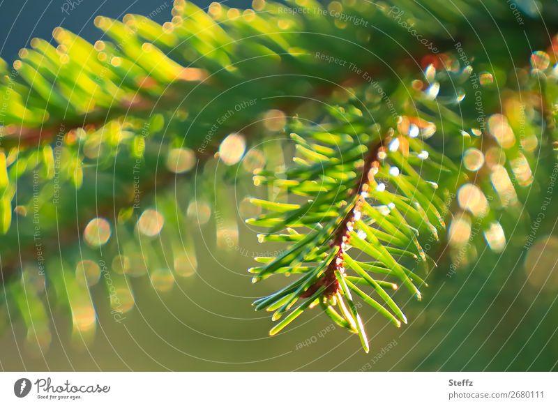Frohe Weihnachten Feste & Feiern Weihnachten & Advent Natur Pflanze Grünpflanze Wildpflanze Tannenzweig Zweig Tannennadel Wald glänzend Fröhlichkeit schön gelb