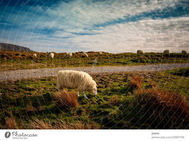 Irischer Außenseiter Landschaft Himmel Schönes Wetter Wiese Wege & Pfade Nutztier Fell Schaf Schafherde 1 Tier Tiergruppe Fressen blau braun grün ruhig Natur