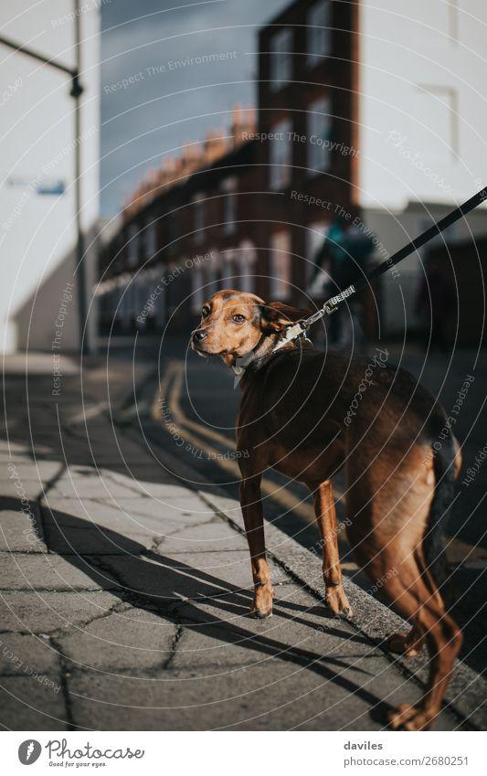 Schönes Hundeporträt Lifestyle Stil Sommer Tier Dorf Kleinstadt Stadt Gebäude Architektur Straße Haustier 1 sportlich authentisch dünn niedlich schön braun