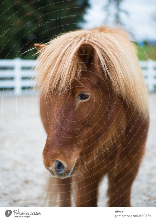 Isländerfuchs Halbprofil Reitsport Natur Tier Pflanze Baum Nutztier Pferd 1 Mähne Fell beobachten Blick stehen Freundlichkeit Fröhlichkeit frisch Gesundheit