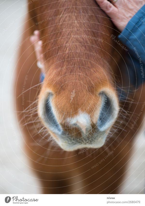 Nüstern Islandpferd Reitsport Landwirtschaft Forstwirtschaft Mensch feminin Hand Finger 1 Island Ponys Tier Nutztier Wildtier Pferd Fell berühren Kommunizieren